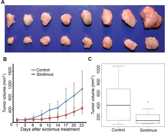 Sirolimus inhibits human UOK 257-1 xenograft tumor growth.