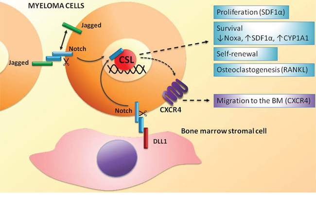 Homotypic and heterotypic activation of the Notch signaling in MM cells.