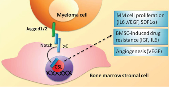 BMSC-mediated heterotypic activation of the Notch signaling in MM cells.