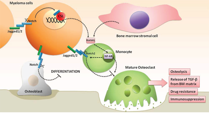 Notch hyperactivation drives the unbalancing of OBLs and OCLs activity, promoting the development of MM-associated bone disease.