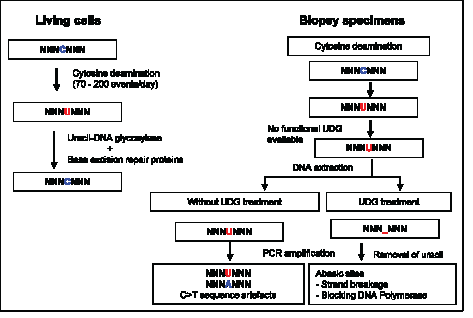 Uracil lesions in FFPE DNA leading to sequence artefacts and in vitro removal of uracil by uracil-DNA glycosylase.