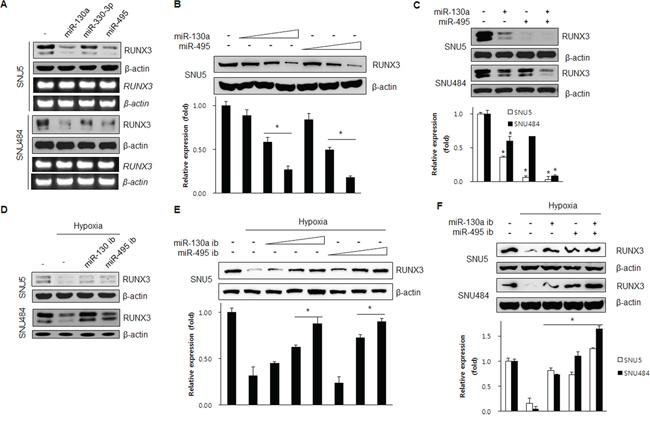 miR-130a and miR-495 inhibit RUNX3 protein expression.