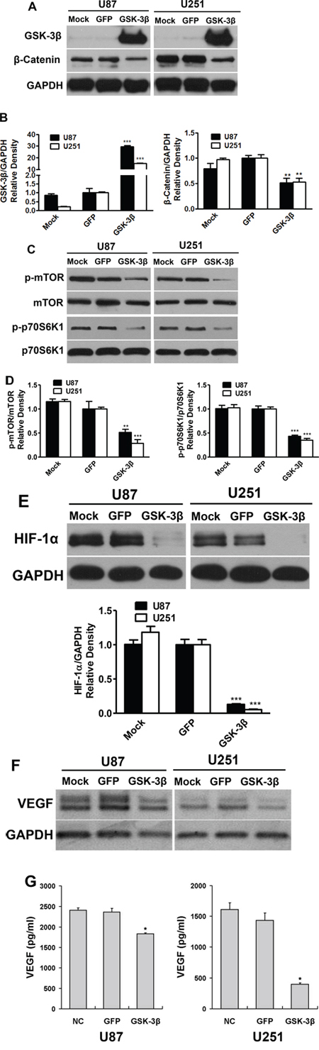 Overexpression of GSK-3β attenuated β-catenin and mTOR/p70S6K1 activation in human glioma cells.