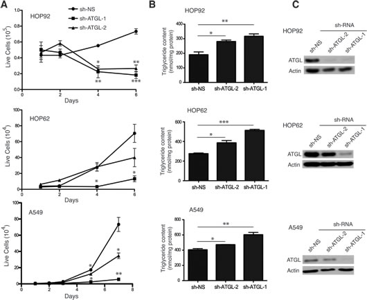 ATGL knockdown inhibits cell growth of NSCL cells.