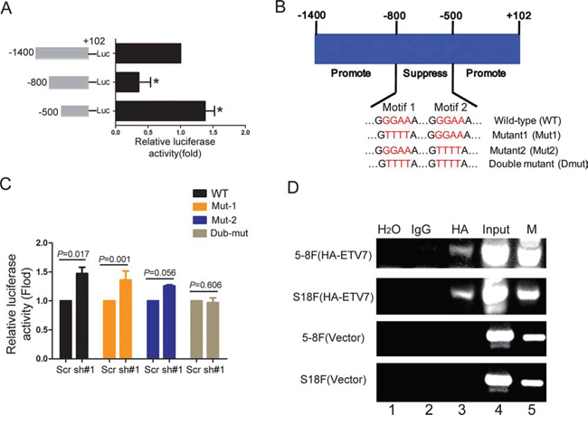 TEL2 directly binds to and suppresses the SERPINE1 promoter activity.