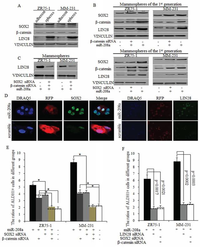 MiR-208a promotes LIN28 via regulations of SOX2 and β-catenin.