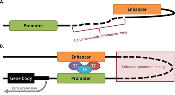 Enhancer-promoter looping occurs over vast distances of DNA.
