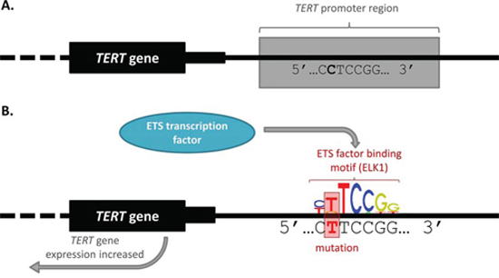 TERT promoter mutation alters transcription factor binding and gene expression.