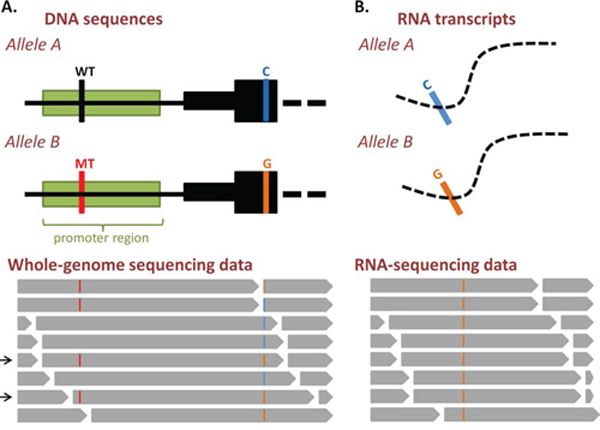 Analysis of allele-specific gene expression from DNA- and RNA-sequencing data.