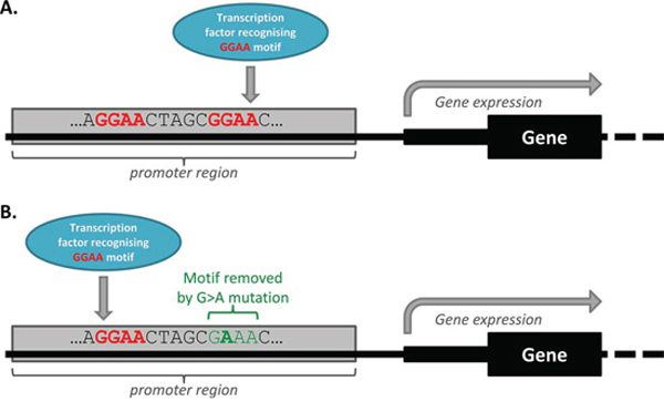 Transcription factor redundancy can impact on the functional effect of some mutations.
