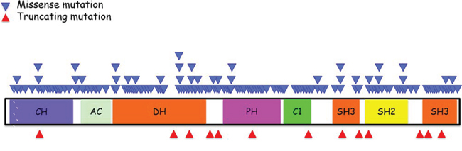 Schematic summary of Vav1 structure and location of various mutations identified in human cancers.