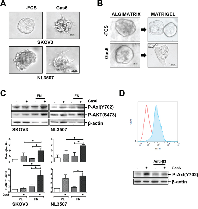 Gas6-stimulated promotion of invasion through the interaction between ovarian cancer cells and ECM.