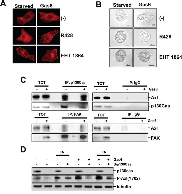 Gas6/Axl signaling triggers PI3K/AKT/rac activation and requires the scaffold protein p130Cas.