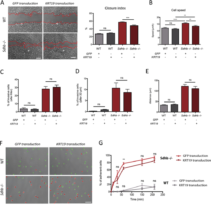 KRT19 rescue after lentiviral transduction and its functional consequences.