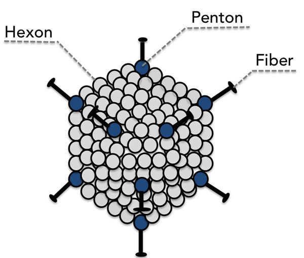 The major capsid proteins fiber, penton, and hexon are the principle mediators of binding to the host cell