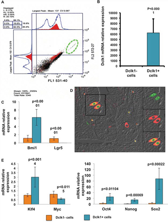 YFP+ cells demonstrate enrichment for stem and pluripotency factors.