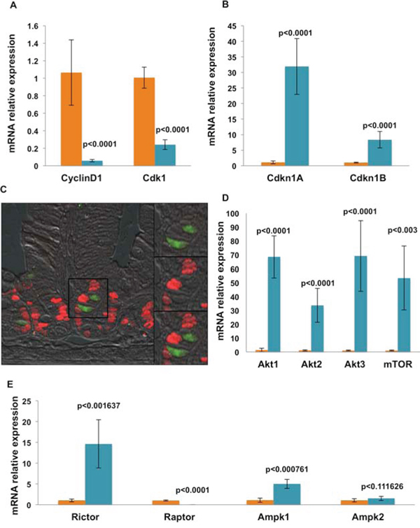 mRNA expression analysis shows that isolated Dclk1+ cells are genetically equipped for quiescence, survival, and longevity.