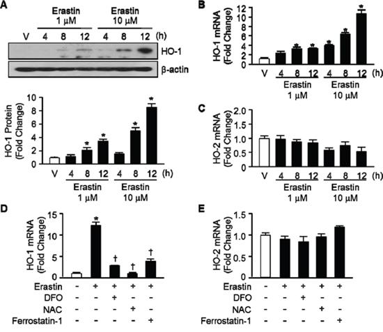 Erastin induces HO-1 expression in HT-1080 fibrosacoma cells.
