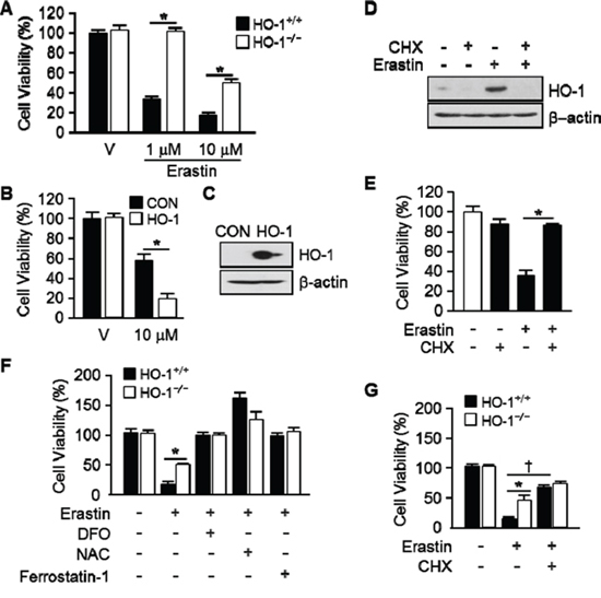 The expression of HO-1 is an important for Erastin-induced ferroptotic cell death.