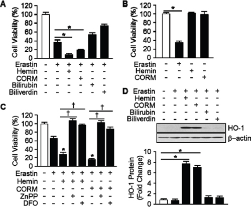 Hemin and CORM accelerate Erasitn-induced ferroptotic cell death in HT-1080 fibrosacoma cells.