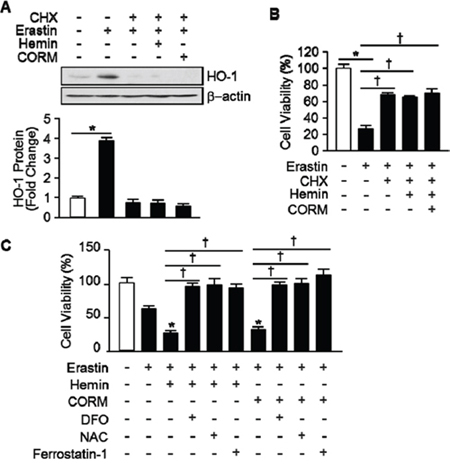 The effects of hemin and CORM on Erastin-induced ferroptotic cell death play through the induction of HO-1 expression.