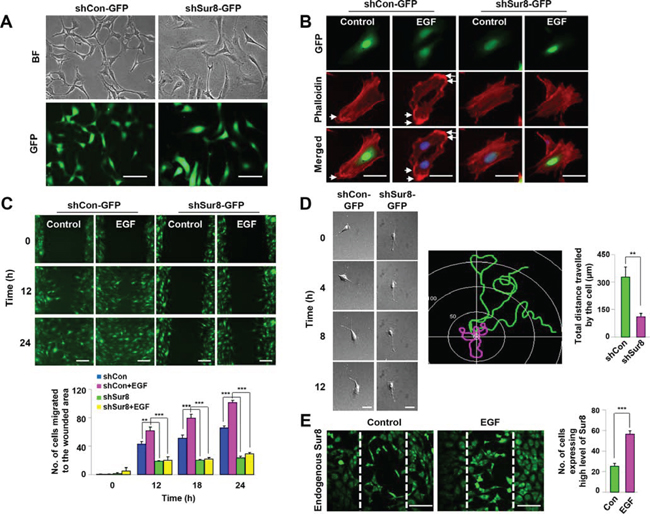 Role of Sur8 in actin cytoskeleton rearrangement and cell migration.