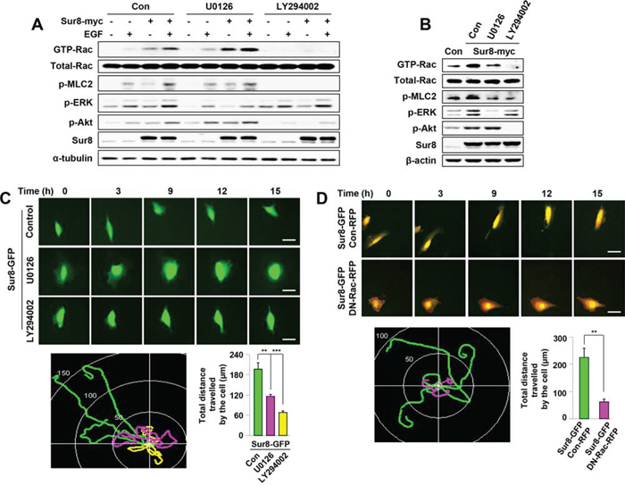 Effects of Ras-ERK or PI3K pathway inhibition on Sur8-mediated Rac activation and cell migration.