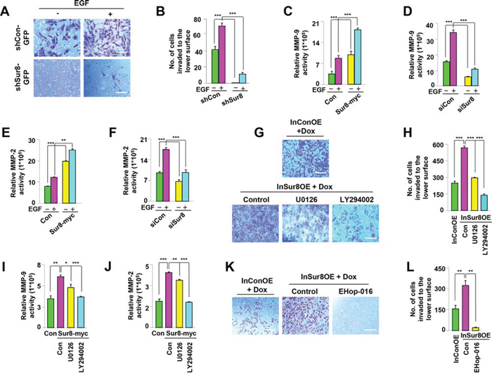 Role of Sur8 in regulating MMP activity and cell invasion.