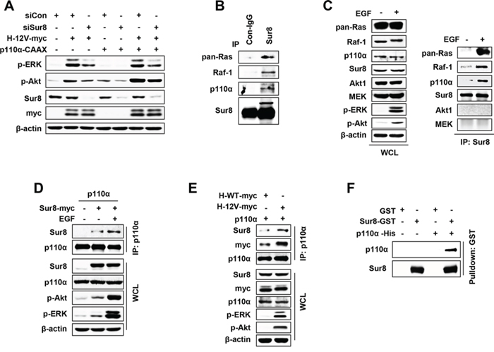 Sur8 interacts with the p110α subunit of PI3K in an EGF- and oncogenic Ras-dependent manner.