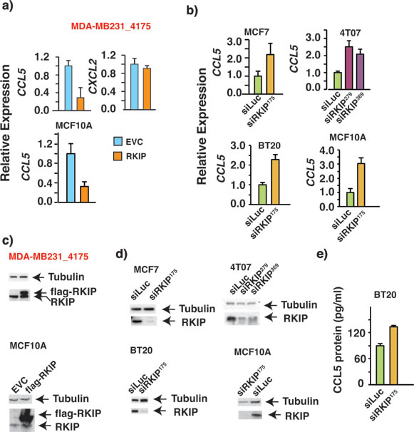 RKIP negatively regulates the expression of RANTES/CCL5 in multiple breast cancer cell lines.