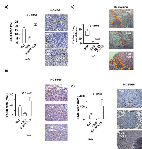 RKIP inhibits lung metastasis and infiltration of TAMs in primary tumors and lung metastatic nodules by inhibiting CCL5 expression.