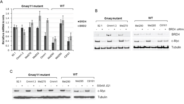 BRD4 and BRD2 are expressed in UM cells.