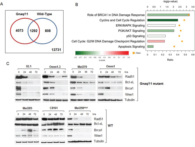 Microarray analysis of JQ1-treated cells reveals expression changes of numerous genes involved in signaling pathways, apoptosis and DNA repair.