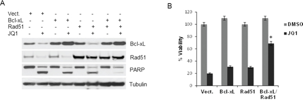 Overexpression of Bcl-xL and Rad51 partially protects cells from JQ1-induced cytotoxic effects.