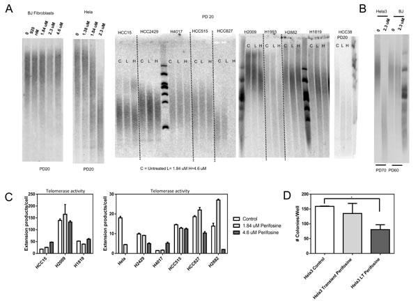 Perifosine induces telomere shortening