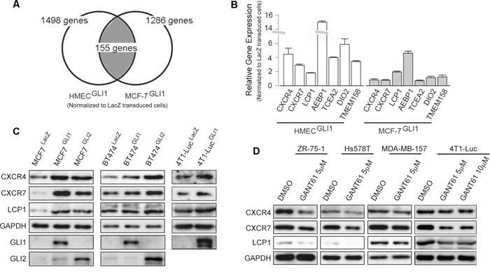 Screening of GLI1 target genes.