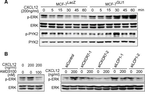 GLI1 enhances CXCL12-induced phosphorylation of ERK and PYK.