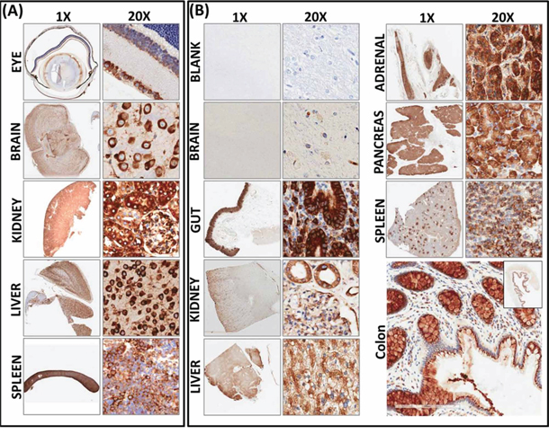 Constitutive expression and localization of RD3 in normal mouse and human tissues.