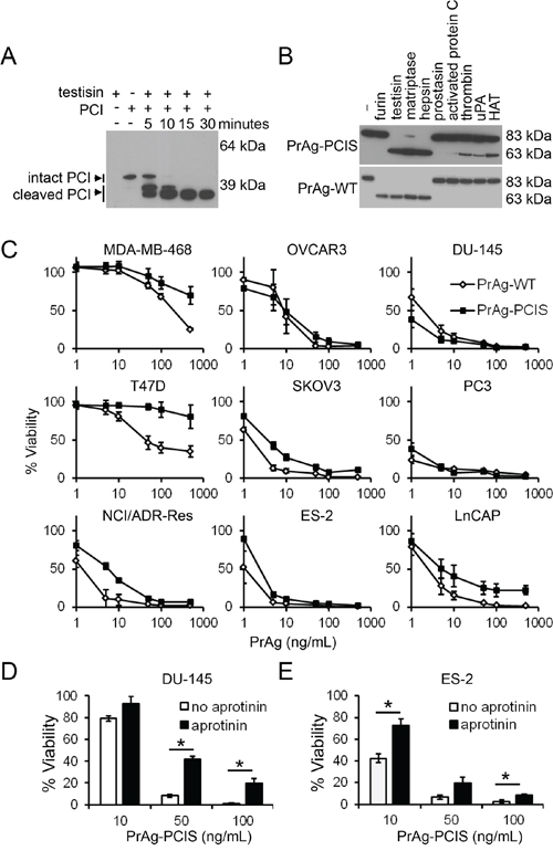The engineered PrAg-PCIS targets tumor cell serine proteases.