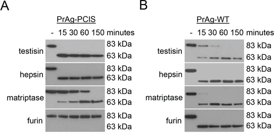 PrAg-PCIS is susceptible to in vitro cleavage activation by testisin, hepsin, and matriptase.