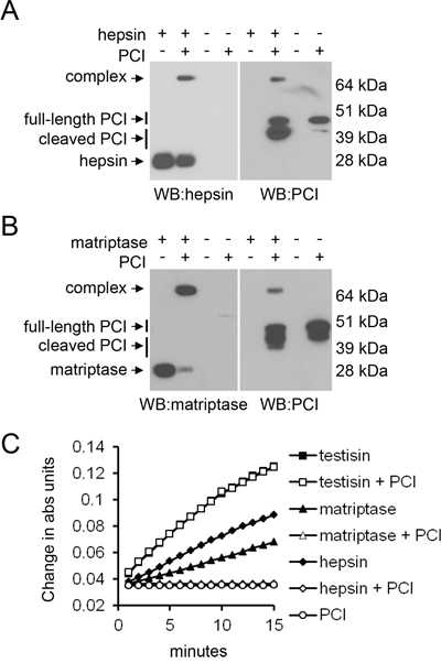 The susceptibility of PrAg-PCIS to proteolytic cleavage by hepsin and matriptase is consistent with their abilities to cleave the RCL of PCI to form protease-serpin inhibitory complexes.