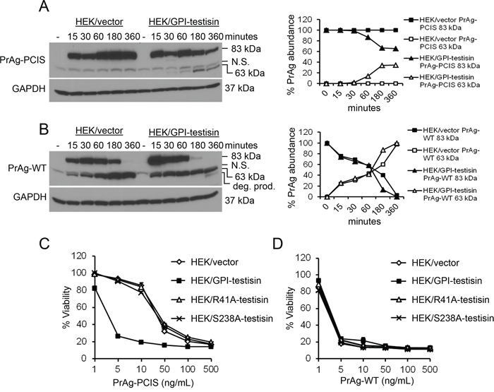 Expression of GPI-anchored testisin in HEK293T cells increases PrAg-PCIS processing and PrAg-PCIS toxin-induced tumor cell killing.