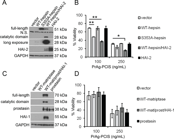 Cellular hepsin is an activator of PrAg-PCIS toxin on tumor cells.