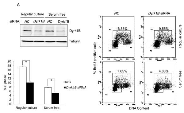 Dyrk1B promotes S phase entry in E7 expressing quiescent cells.