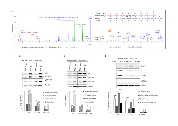Dyrk1B was important for phosphorylation of p27 in HPV E7 expressing cells.