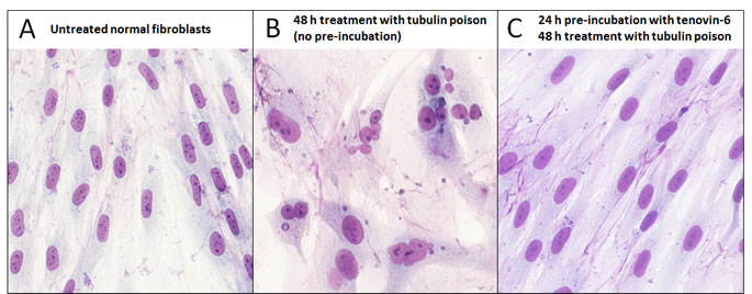 Effective chemoprotection of normal cells from nuclear aberrations caused by a tubulin poison.