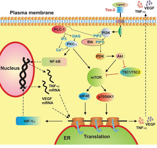 A schematic summary of ligand-induced Tim-3-mediated biological responses in healthy primary human leukocytes and primary human AML cells.