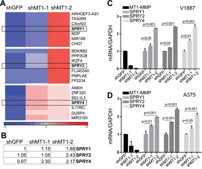 SPRY genes are novel targets of MT1-MMP.