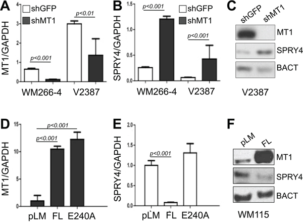 MT1-MMP inhibits SPRY4 expression.