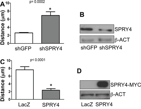 SPRY4 inhibits melanoma cell migration.